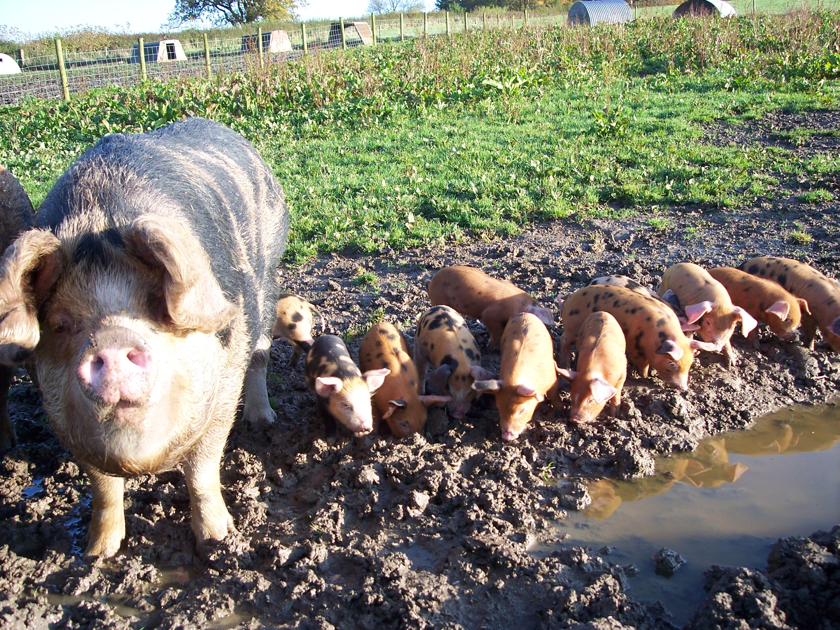 Black and ginger sow, with piglets