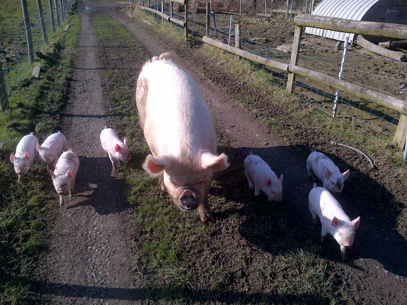Sow and piglets walking down track with muddy noses