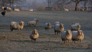 portland sheep in field