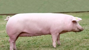 White Welsh gilt, stood side on