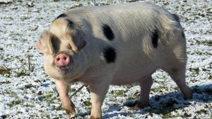 Gloucester, white and black spotted pig in snow