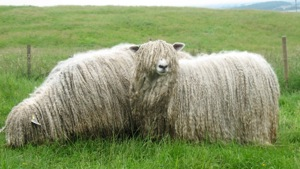 Two Lincoln Longwool sheep in field