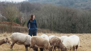 Field full of rare breed sheep