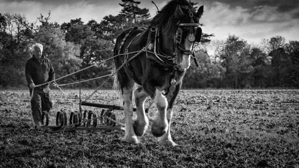 Black and white photo of horse and man ploughing field