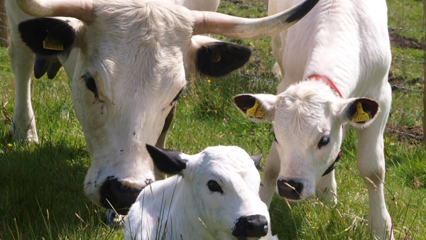 white cattle with two calves