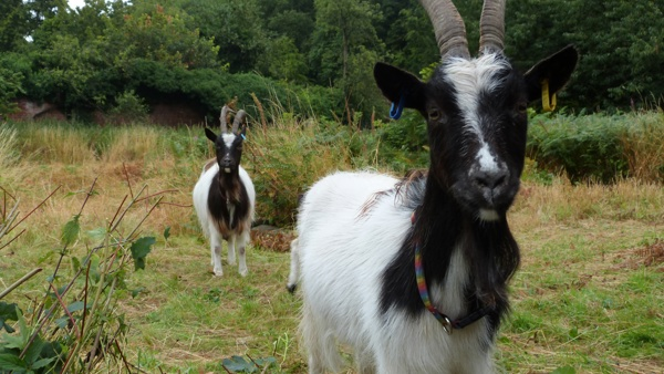 two brown and white goats in garden
