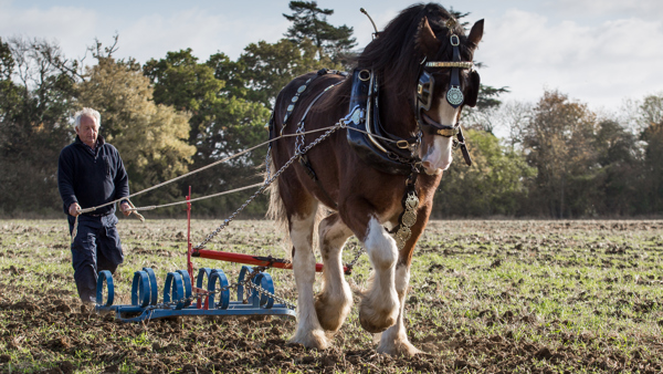 Shire horse ploughing a field