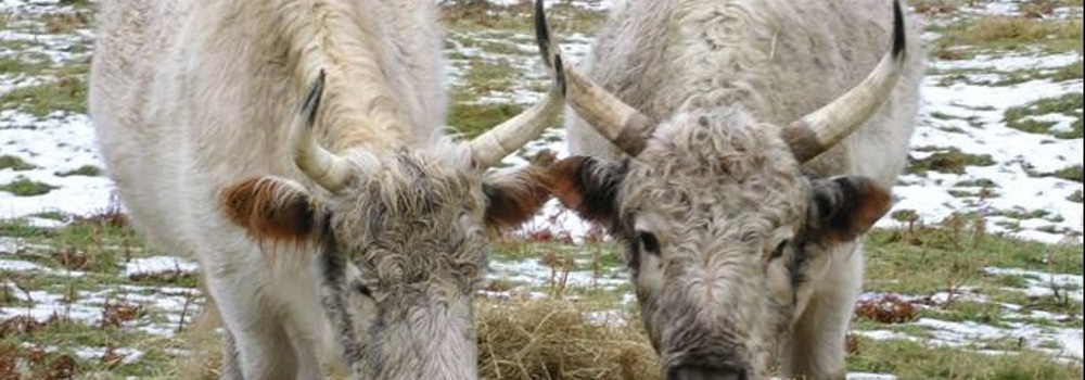 The Chillingham Wild Cattle