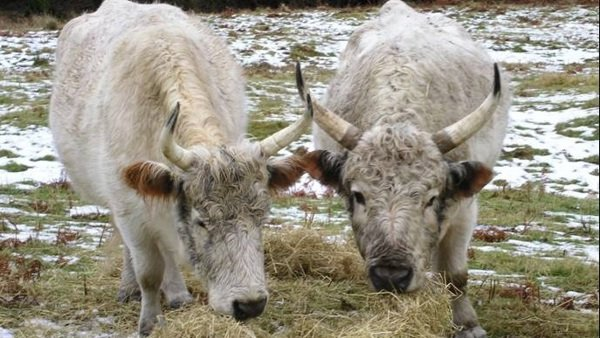 Horned, White Chillingham cattle eating hay