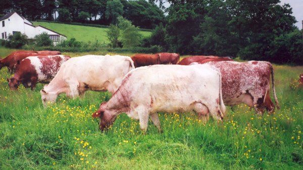 Dairy Shorthorns, grazing in the field