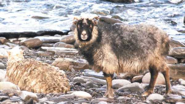 Two North Ronaldsay sheep stood on the beach