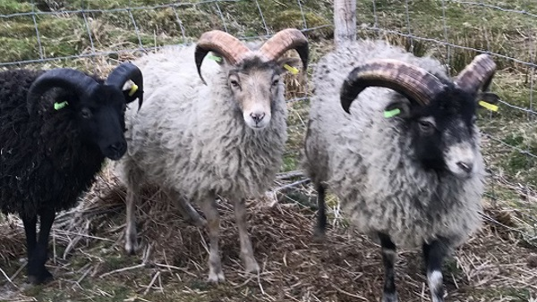 North Ronaldsay Tup Lambs looking for breeding home - Ross-shire