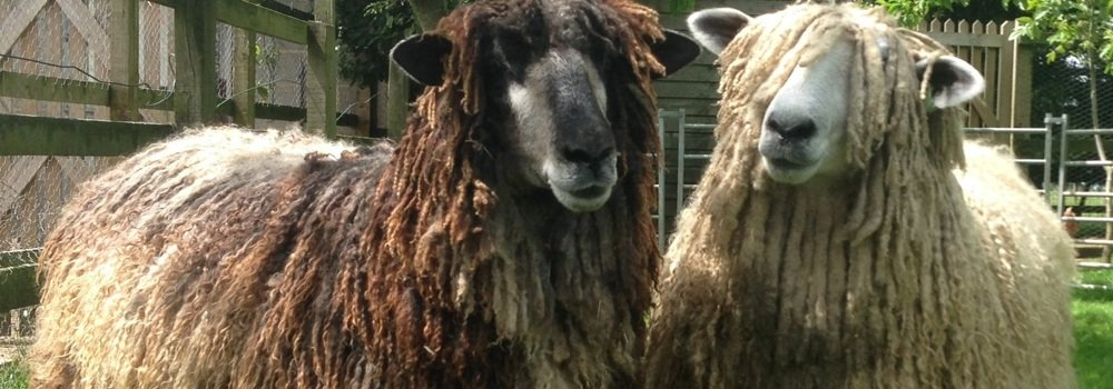 One black and one white Leicester Longwool sheep in garden