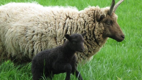 ewe and lamb walking in field