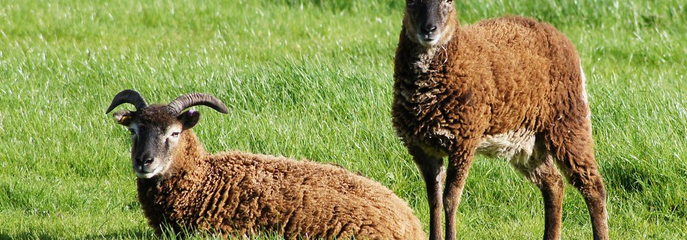two soay sheep in a field