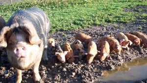 Ginger sow with black spots, with piglets