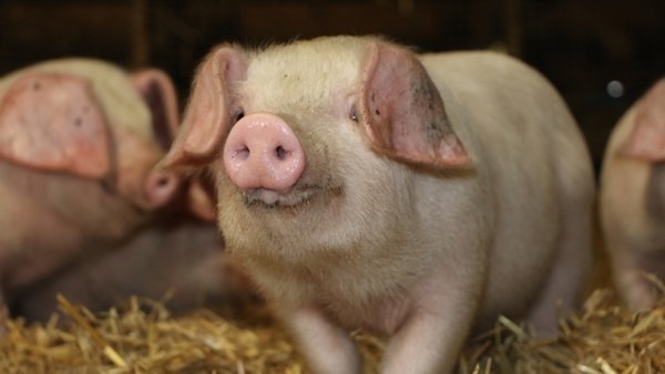 RBST launches ground-breaking project to secure future of traditional Lop Pigs