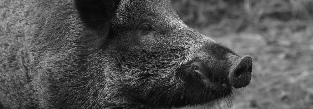 Silent killers: African Swine Fever