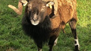 SOAY RAM PEDIGREE - 100% efficient - Dumfries & Galloway
