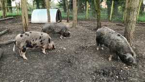 Pedigree Oxford Sandy and Black Pigs for sale - Norfolk