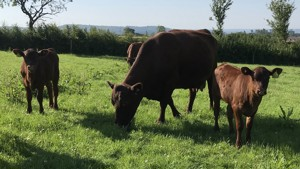2 Red Poll In-Calf Breeding Cows with Calves at Foot - Staffs