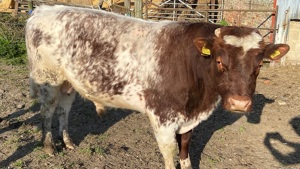 Northern Dairy Shorthorn Bull for sale - Suffolk