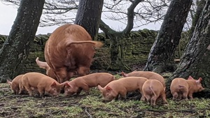 Pedigree Tamworth weaners - Northumberland