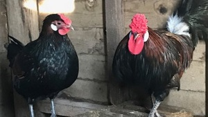 Trio of Old English Pheasant Fowl - Devon