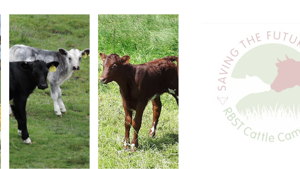 Saving the future today: RBST Cattle Campaign